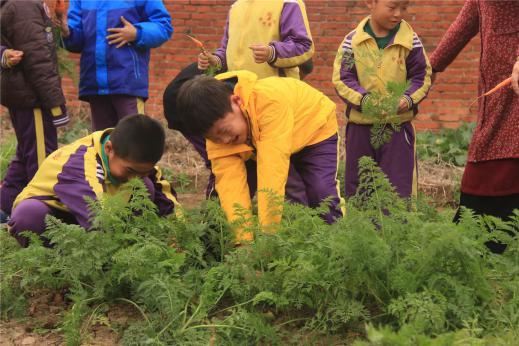 明珠国学组织拔萝卜活动