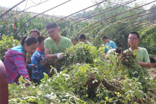 明珠国学组织收花生